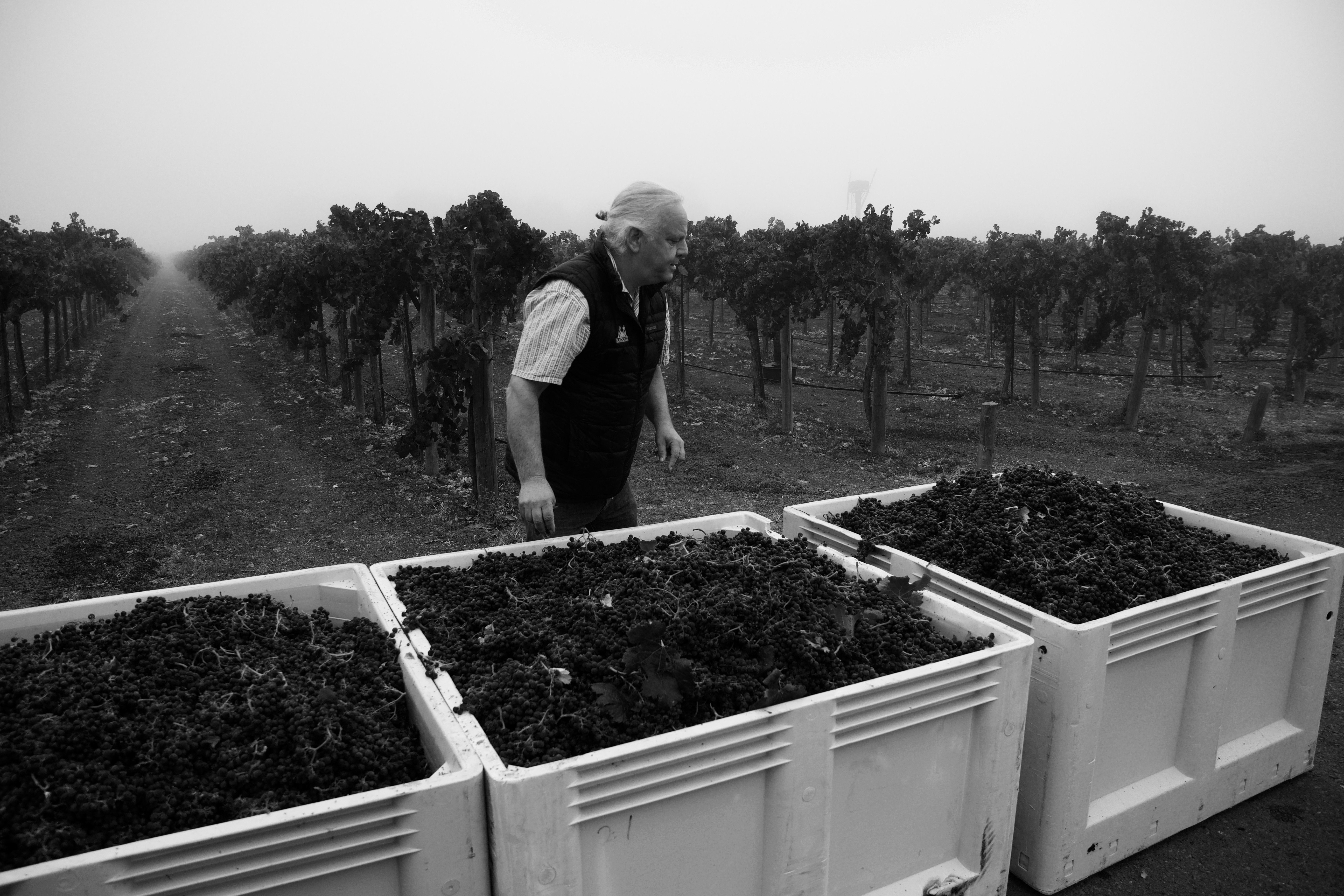Mark Inspecting the Grapes